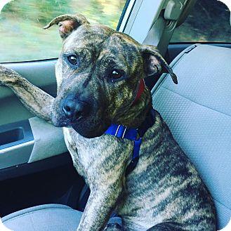 Pit Bull Terrier Mix Puppy for adoption in Acushnet, Massachusetts - Pancake
