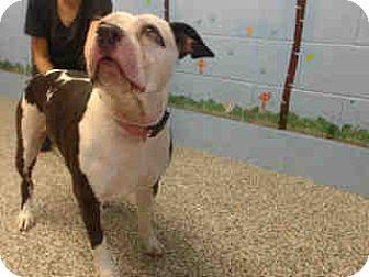 Pit Bull Terrier Dog for adoption in San Bernardino, California - URGENT ON 10/6  San Bernardino