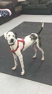 American Pit Bull Terrier/Great Dane Mix Dog for adoption in Anchorage, Alaska - Seamus