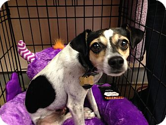 Chihuahua Dog for adoption in East Brunswick, New Jersey - Mary