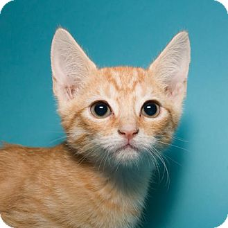 Domestic Shorthair Kitten for adoption in Jersey City, New Jersey - Mocha