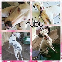 Adopt A Pet :: Ruby - Lubbock, TX