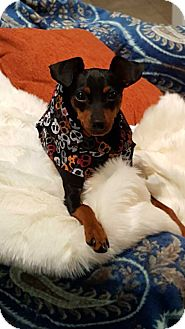 Miniature Pinscher Dog for adoption in Richmond, Kentucky - Rocket