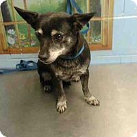 Adopt A Pet :: URGENT on 11/19 SAN BERNARDINO - San Bernardino, CA