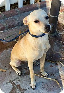 Rat Terrier/Whippet Mix Dog for adoption in Santa Ana, California - Skipper aka Mr. Wiggles (BH)