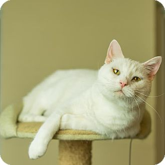 Domestic Shorthair Cat for adoption in Columbia, Illinois - Powder