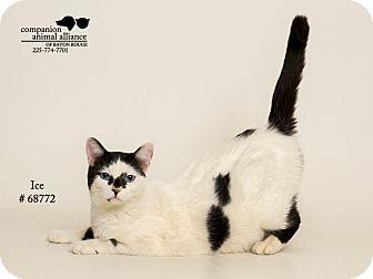 Domestic Shorthair Cat for adoption in Baton Rouge, Louisiana - Ice