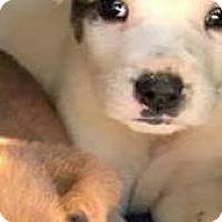 Adopt A Pet :: Blitzen - Smithtown, NY