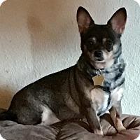 Adopt A Pet :: Litzy - Ardmore, OK