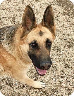 German Shepherd Dog Dog for adoption in Federal Way, Washington - Annabelle - PENDING ADOPTION