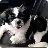 Adopt A Pet :: Gizmo - Lawrenceville, GA