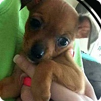 Adopt A Pet :: 3 Chi pups - Mary Esther, FL