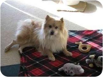 Pomeranian Mix Dog for adoption in Chesapeake, Virginia - Sunny