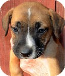 Boxer/Labrador Retriever Mix Puppy for adoption in East Hartford, Connecticut - Milo in CT