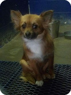 Pomeranian/Chihuahua Mix Dog for adoption in Windham, New Hampshire - Bree