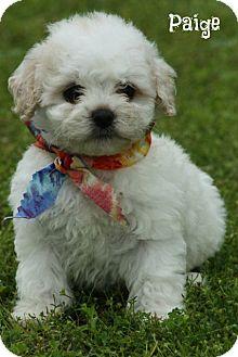 Teacup Shih Tzu Poodle Mix