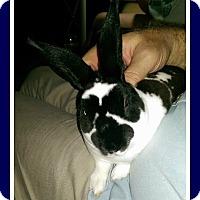 Adopt A Pet :: Peekaboo - Williston, FL