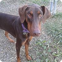 Adopt A Pet :: Scarlett - New Richmond, OH