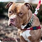 Adopt A Pet :: Santino