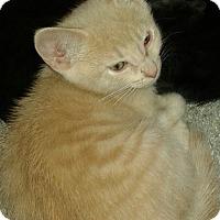 Adopt A Pet :: Flash - Whittier, CA