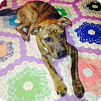 Adopt A Pet :: Libby in CT - Manchester, CT