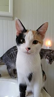 Calico Cat for adoption in Clarkson, Kentucky - Charisma