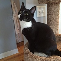 Domestic Shorthair Cat for adoption in Devon, Pennsylvania - Pepper