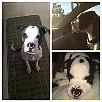 Adopt A Pet :: Rooney - Winchester, VA