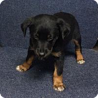 Adopt A Pet :: Herbie - Albany, NY