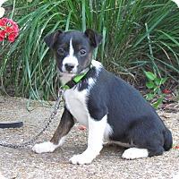 Adopt A Pet :: CAMEO - Bedminster, NJ