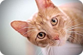 Domestic Shorthair Cat for adoption in San Antonio, Texas - Leo