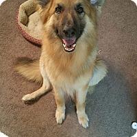 Adopt A Pet :: Misha - Arlington, TX