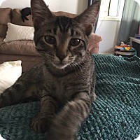 Domestic Shorthair Kitten for adoption in Lombard, Illinois - Ponce
