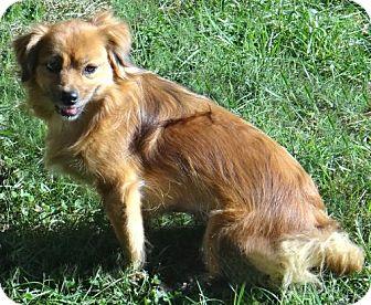 Pomeranian/Shih Tzu Mix Dog for adoption in Stockport, Ohio - Sadie