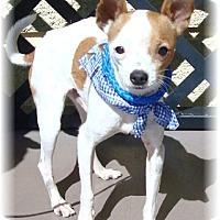 Adopt A Pet :: Huero - Las Vegas, NV