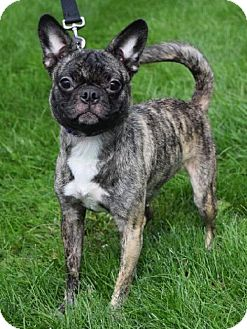 Pug/Boston Terrier Mix Dog for adoption in Valparaiso, Indiana - Nellie
