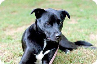 Labrador Retriever Mix Dog for adoption in Brattleboro, Vermont - CHARLOTTE