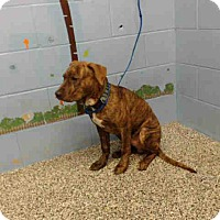 Mastiff Mix Puppy for adoption in Beverly Hills, California - A498697 is at San Bernardino C