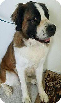 St. Bernard Dog for adoption in Waterville Valley, New Hampshire - EDEN