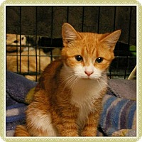 Domestic Shorthair Cat for adoption in Island Heights, New Jersey - Teddy