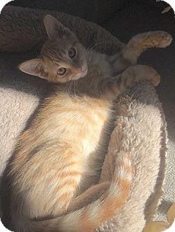 Domestic Shorthair Cat for adoption in Denver, Colorado - Keona