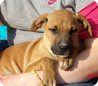 Great Dane/Shepherd (Unknown Type) Mix Puppy for adoption in Sussex, New Jersey - Thena (14 lb) Pretty Pup!