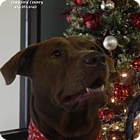 Adopt A Pet :: Chessie - Bucyrus, OH