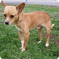 Adopt A Pet :: Boo Boo - Lexington, KY