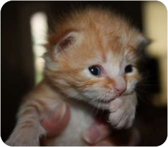 Domestic Shorthair Kitten for adoption in Union, Kentucky - Hanover
