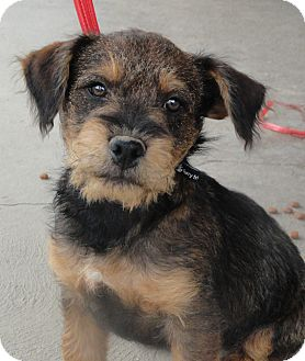 moe | Adopted Puppy | Santa Ana, CA | Airedale Terrier ...