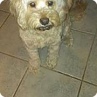 Adopt A Pet :: Violet - NON SHED COCKAPOO! - Phoenix, AZ