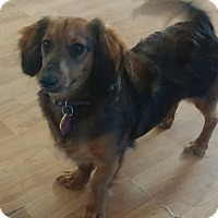 Adopt A Pet :: Laci - Golden Valley, AZ