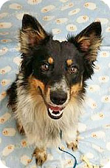 Australian Shepherd Mix Dog for adption in Spokane, Washington - Jagger