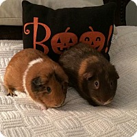Adopt A Pet :: Teddy and Louie - Maryville, TN